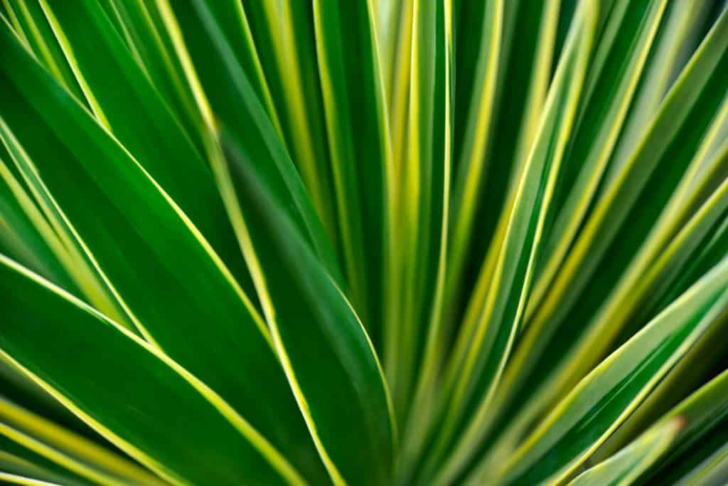 An up close photo of a Yucca plant