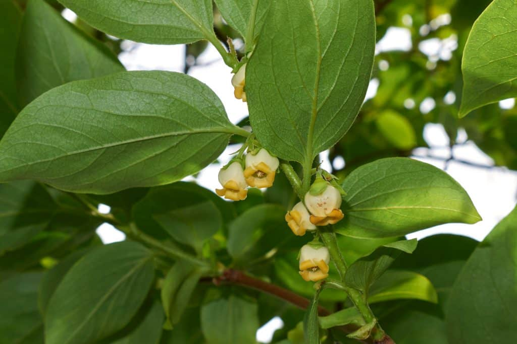 An up close photo of a diospyros flower blooming on the garde