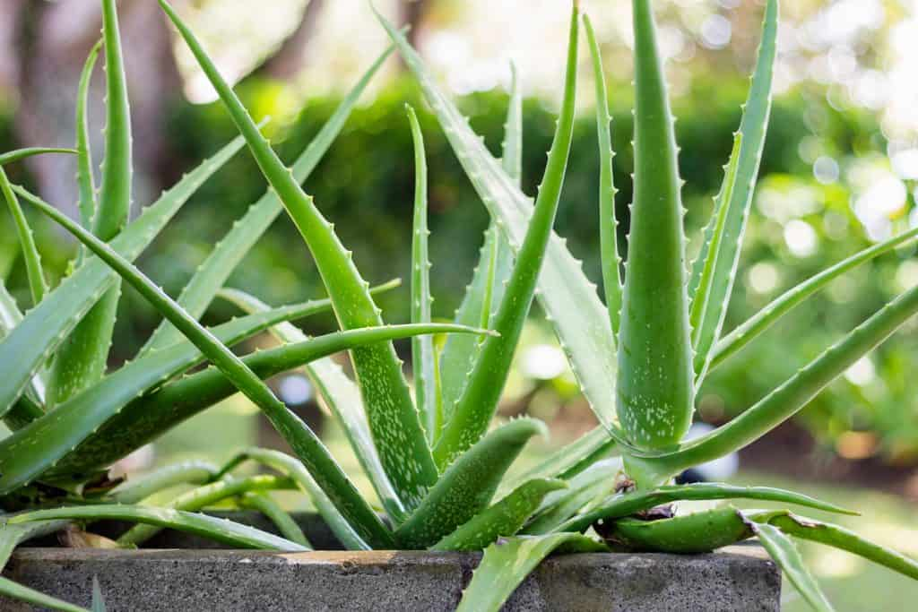 An up close photo of an Aloe plants on planters suitable for landscaping