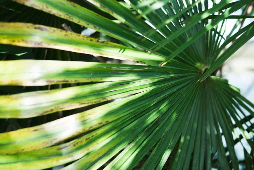 An up close photo of an Areca Palm tree