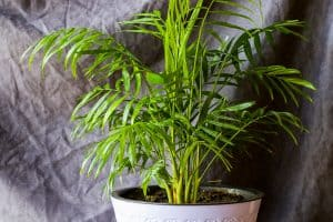Read more about the article Does An Areca Palm Purify Air?