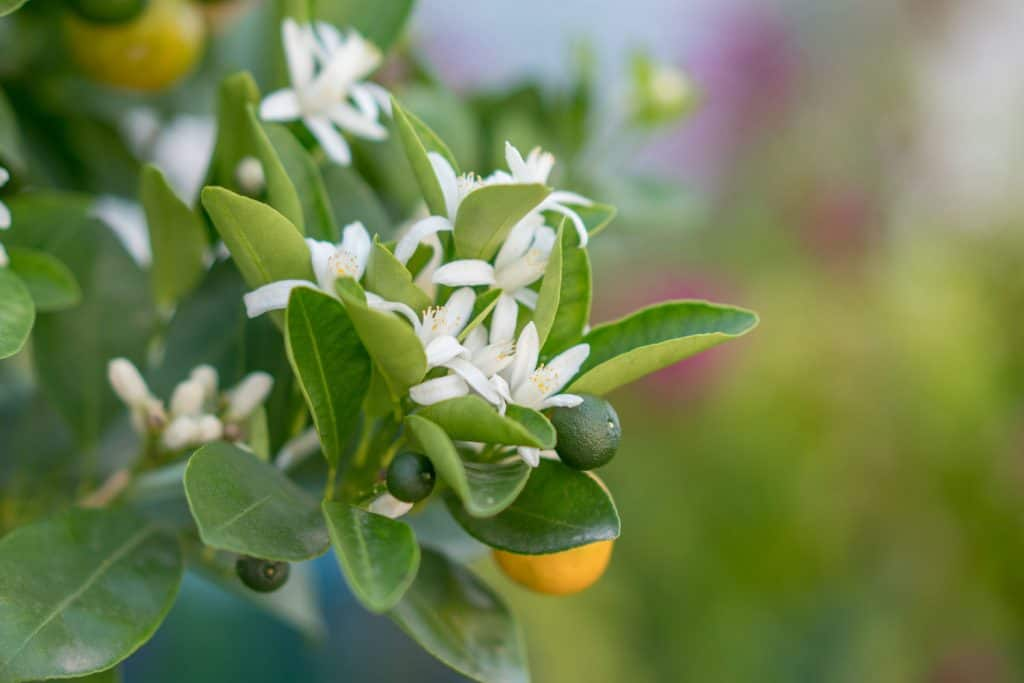 An up close photo of an orange tree with flowers blooming beautifully