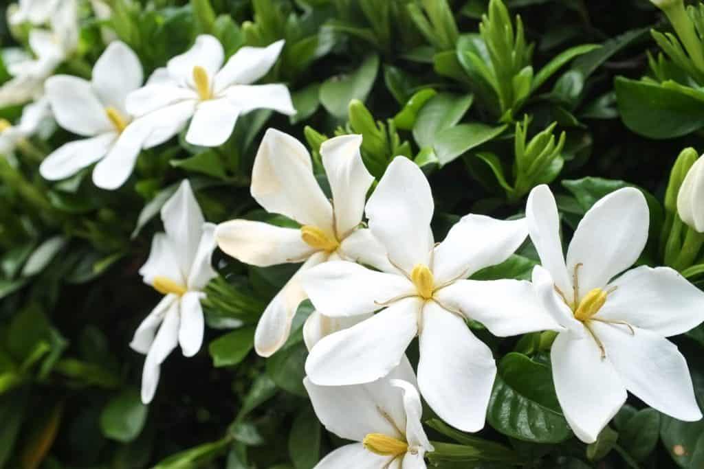 An up close photograph of gardenia flowers in a garden