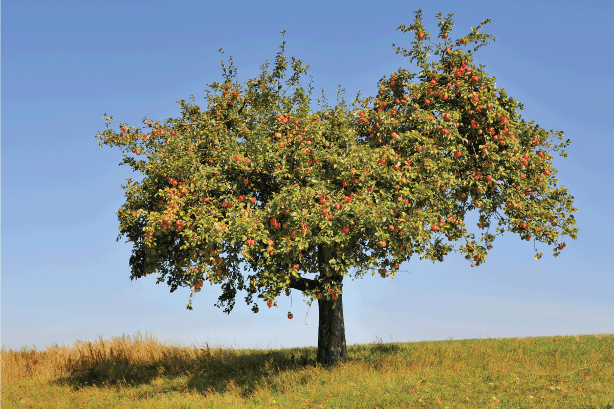 Apple tree fully laden with ripe red apples on a sunny cloudless day.