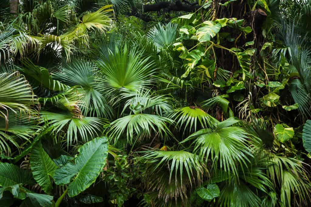 Areca Palm trees growing in an unmanage garden