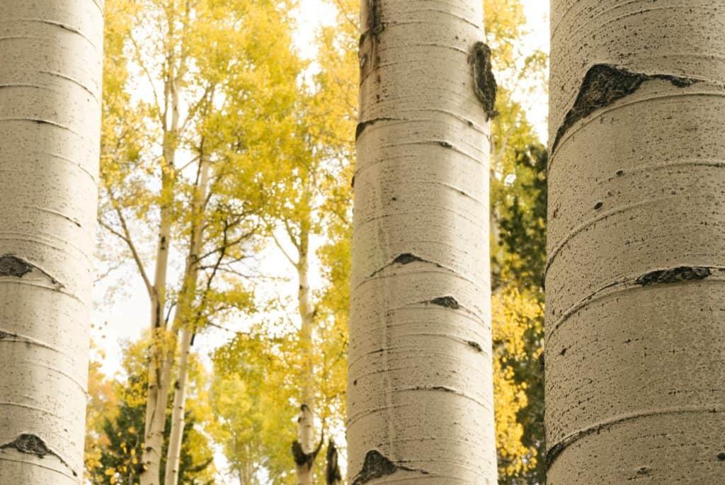 Aspen trees in September near Flagstaff, Arizona