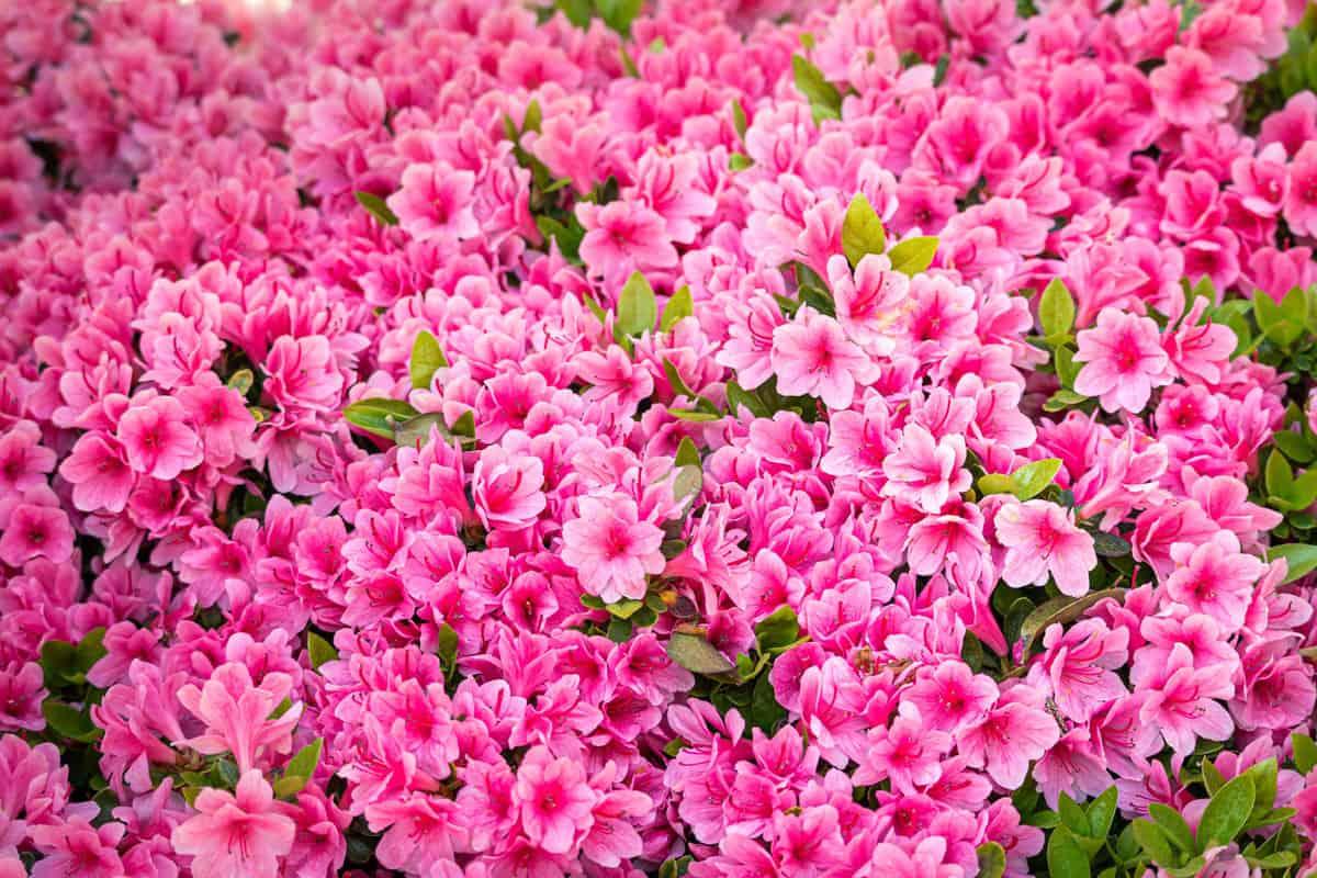 Azalea flowers blooming breathtakingly at spring