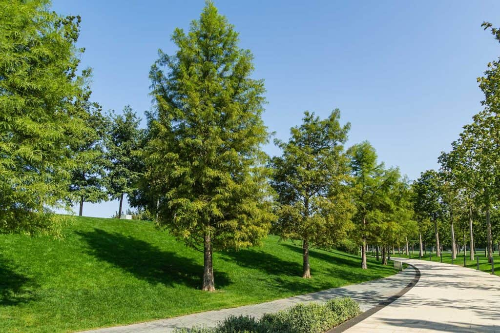 Bald Cypress Taxodium Distichum green tree in public landscape in sunny autumn