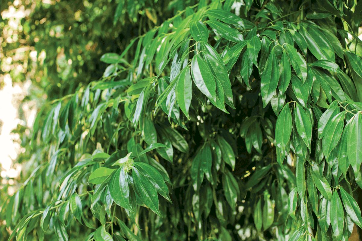 Bay leaf Bush. Green juicy Bay leaves