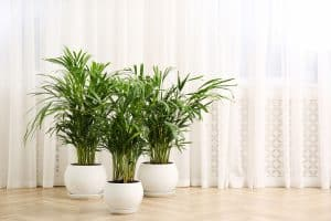 Read more about the article How Big Do Areca Palm Trees Get?