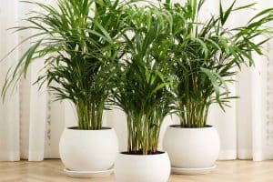 What's The Best Soil For An Areca Palm?