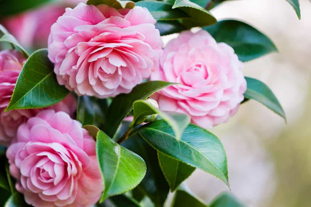 Beautiful pink flowers of the Camelia plant photographed up close