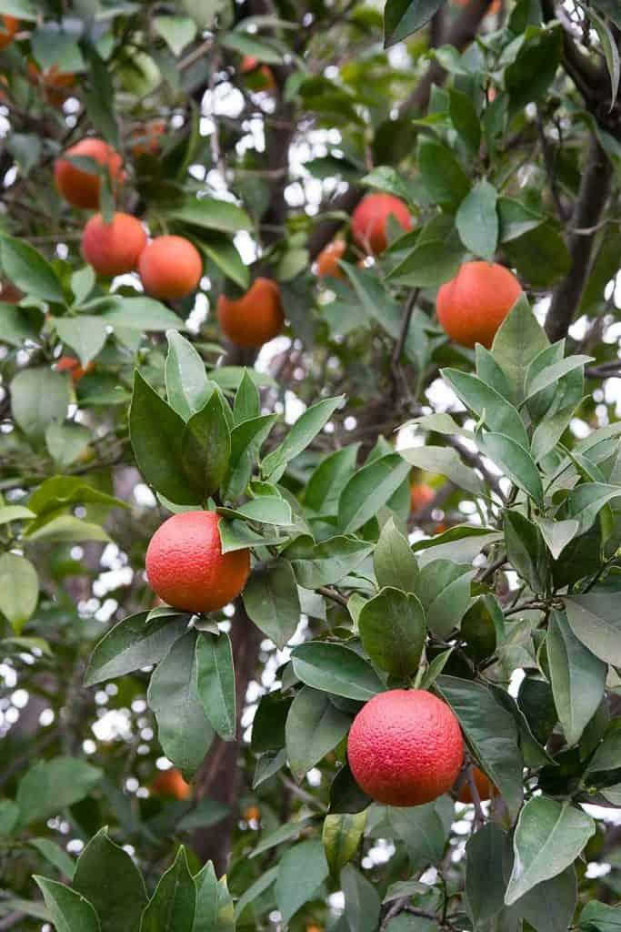 Blood oranges on a tree