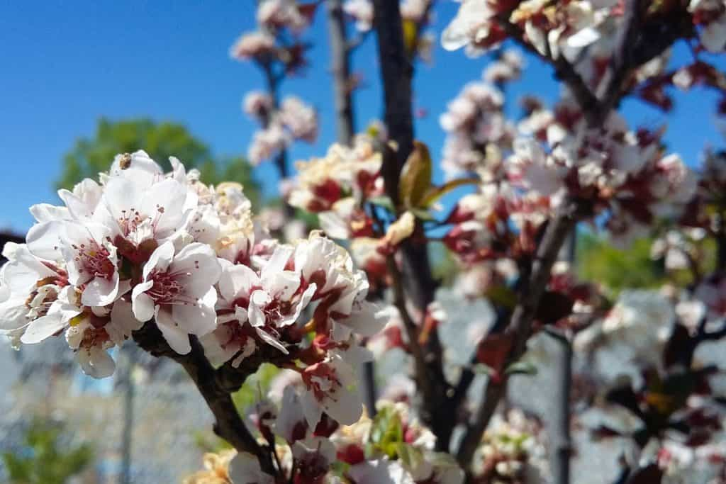 Blossoming flowers of the plum tree