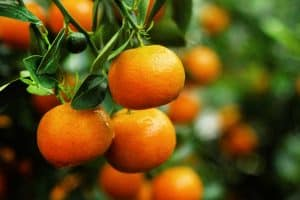 Read more about the article 5 Of The Fastest-Growing Citrus Trees To Know