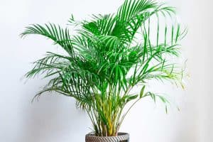 How To Propagate An Areca Palm [2 Viable Methods!]