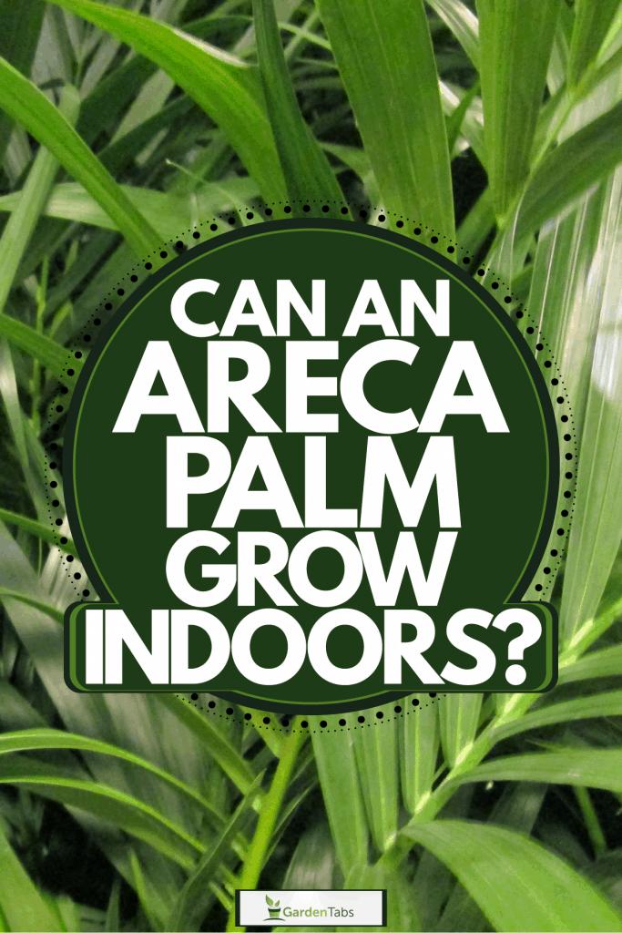 An up close photo of an Areca Palm tree on a garden, Can An Areca Palm Grow Indoors?