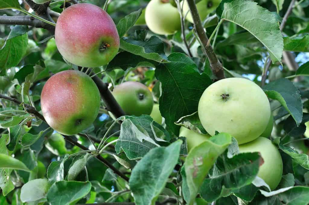 Close-up of grafted green apple tree including branch with red apples
