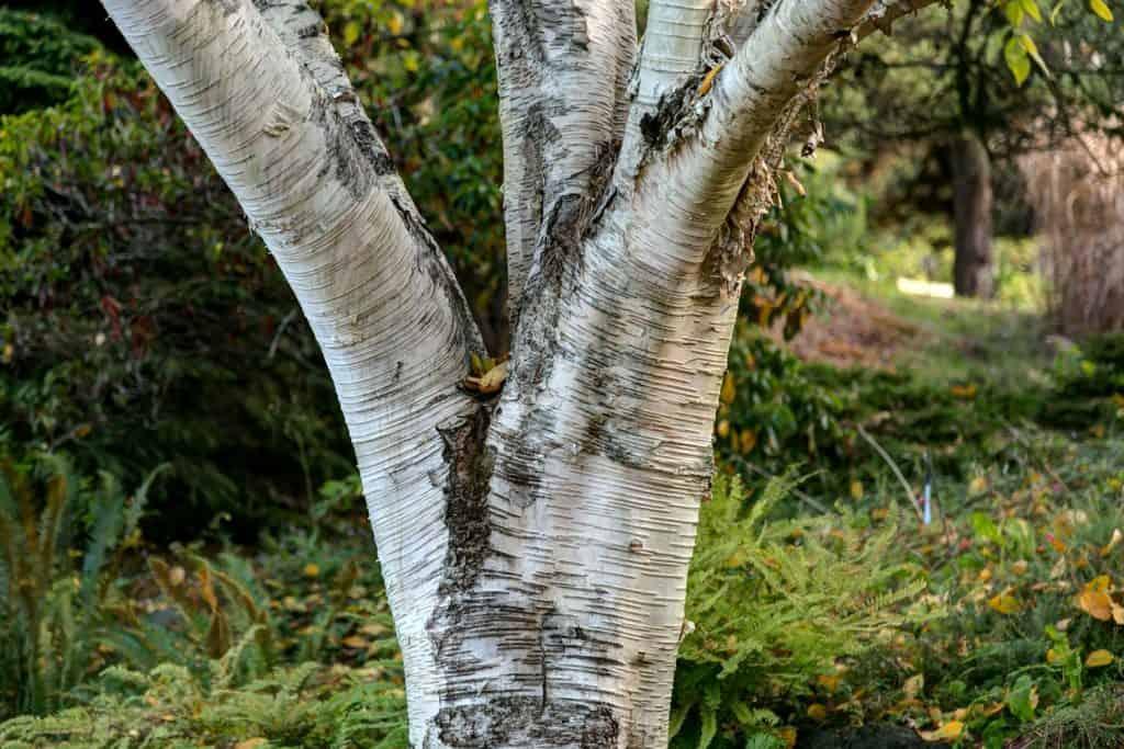 Closeup macro of a himalayan birch tree (betula utilis)
