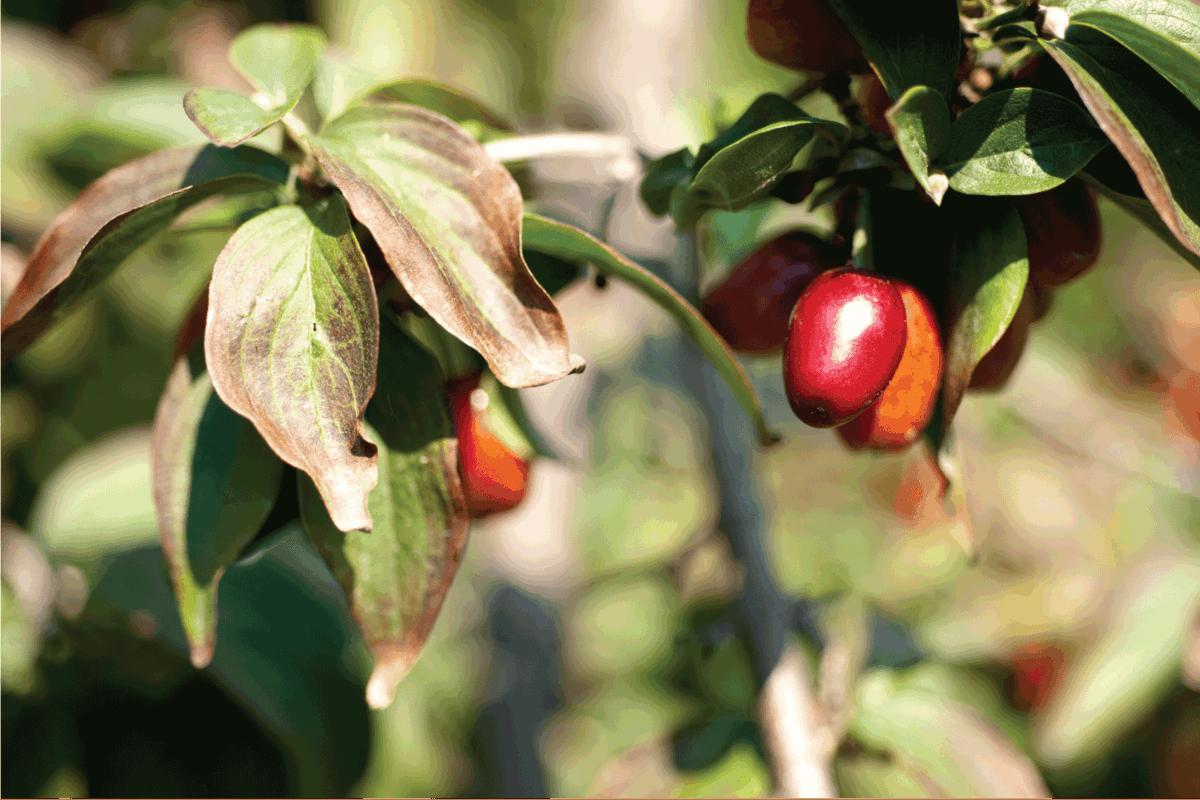 Cornelian cherries on a tree in summertime