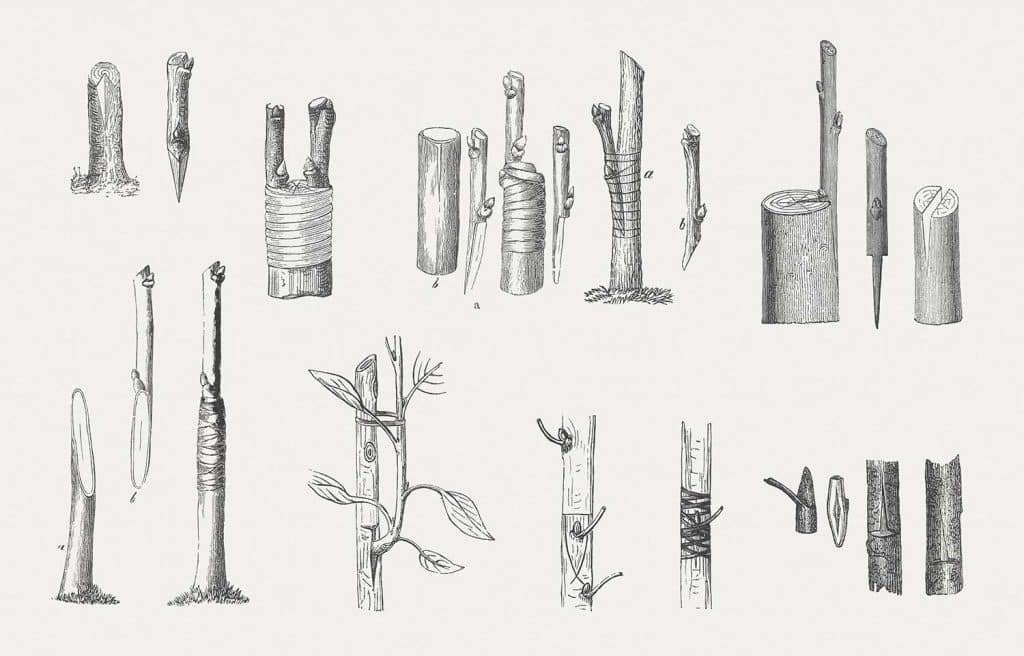 Different variations of grafting at fruit trees