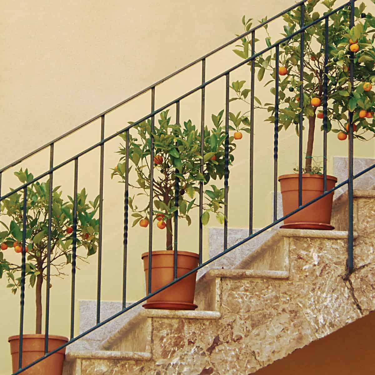 Dwarf orange tree display on a balcony staircase