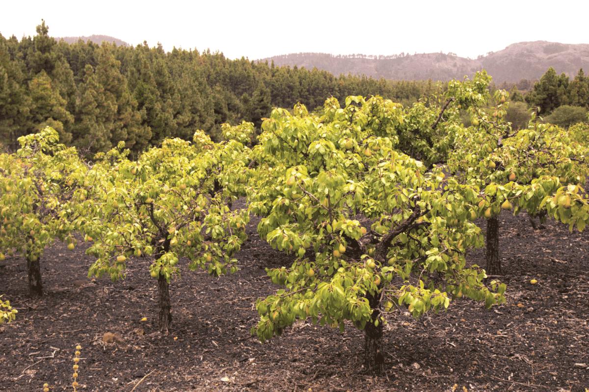 Dwarf pear tree orchards