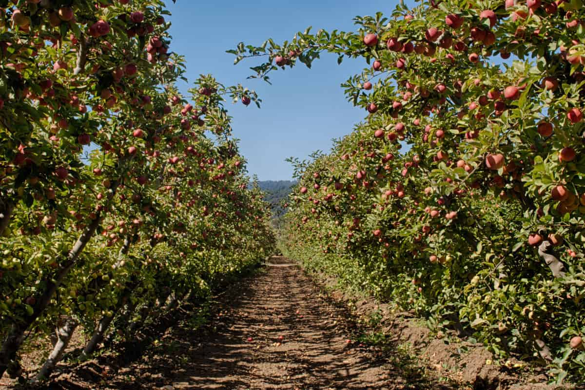 Espalier organic Apple orchard with ripening apples on trees. Espalier is the method of controlling plant growth to grow into a flat plane