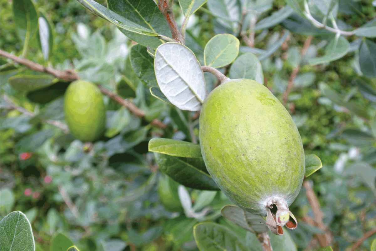 Feijoa fruit plant. food backgrounds and textures