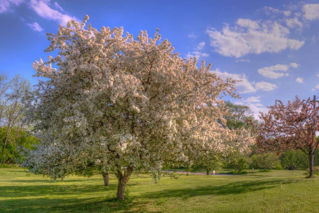 Flowering crab apple tree photographed outside a field