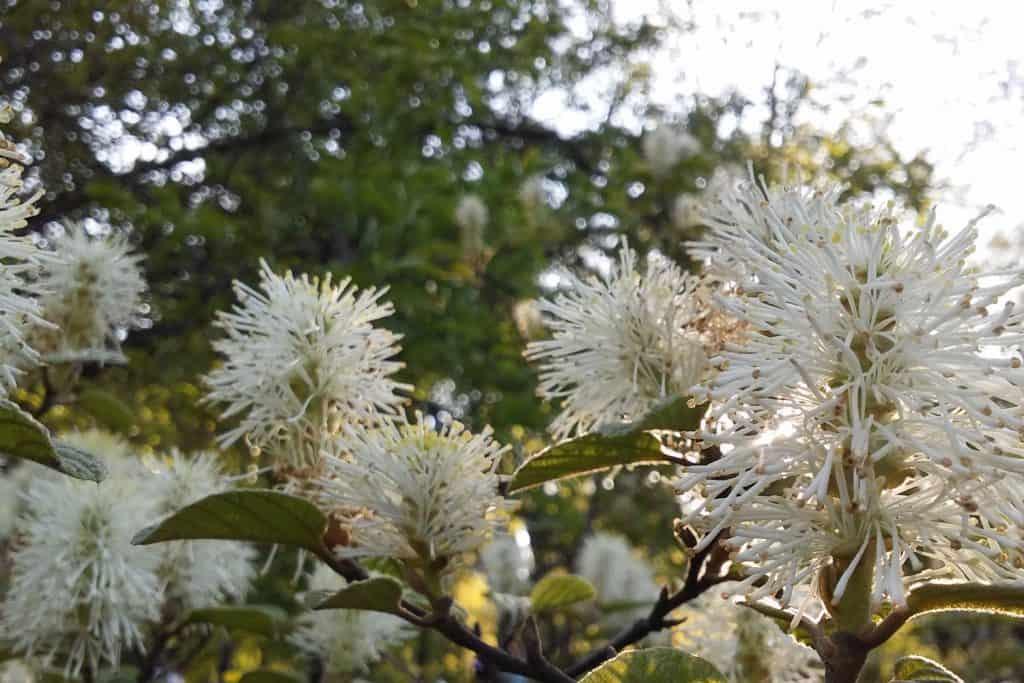 Fothergilla plant blossoming strikingly at a garden