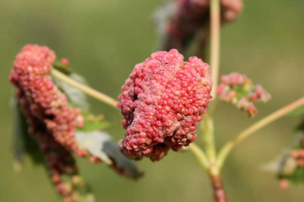 Gall caused by maple bladder-gall mite on Silver Maple leaf