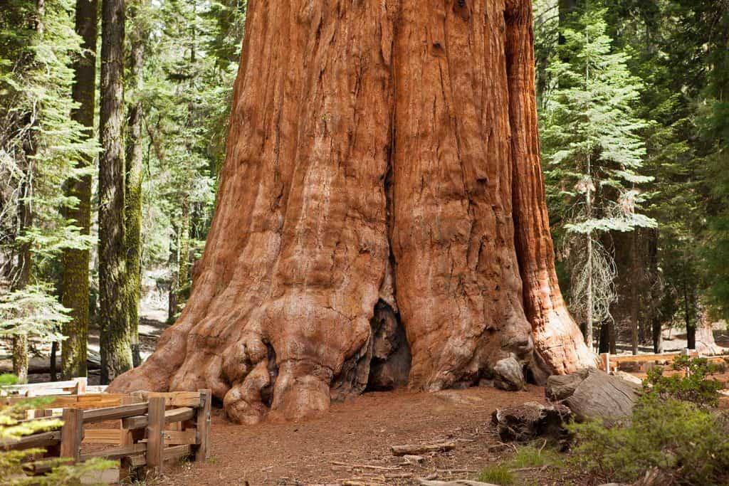 Giant Sequoia tree close-up