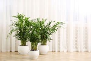 Gorgeous properly trimmed Areca palm trees inside a living room, Do Areca Palms Like Full Sun?