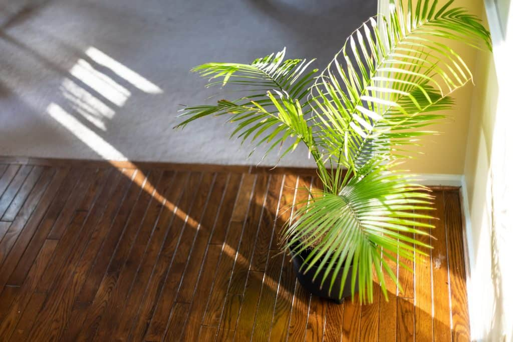High angle view of indoor palm plant decoration with potted pot and green leaves on corner of wooden floor in room by wall and sunlight