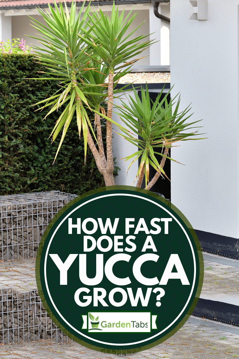 A large yucca plant in a large black pot stands next to a white garage door, How Fast Does A Yucca Grow?