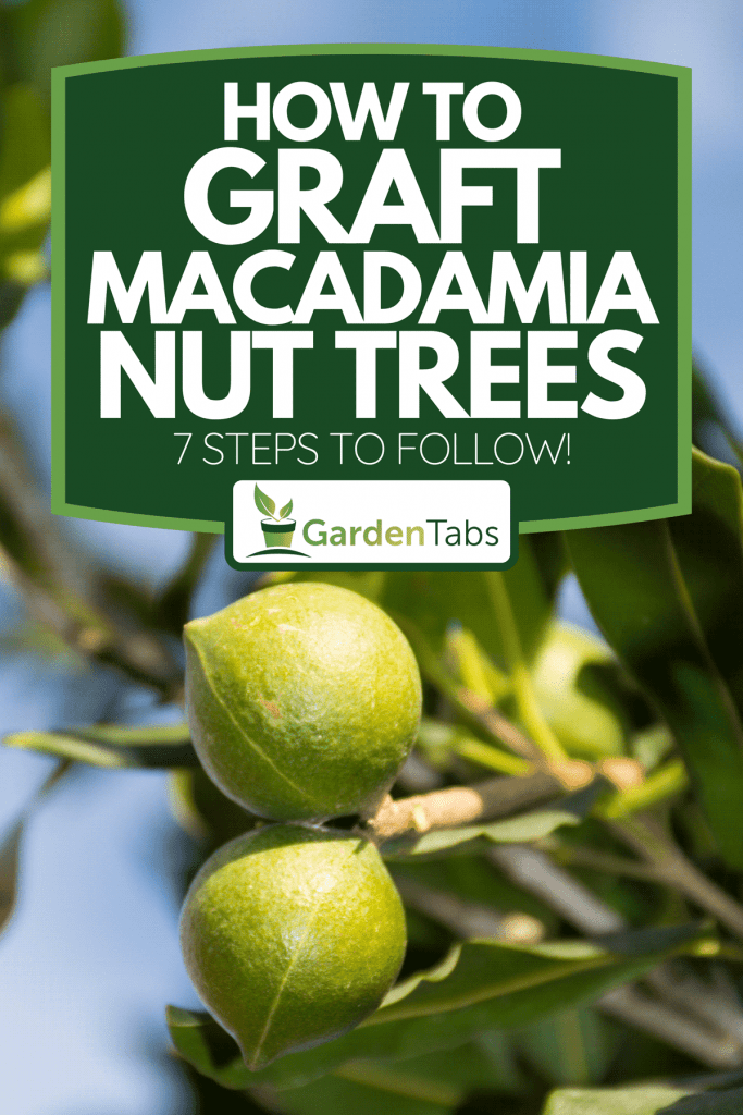 Macadamia nuts on the evergreen tree, How To Graft Macadamia Nut Trees [7 Steps To Follow!]