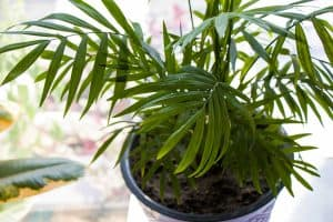 How Often Should You Water Areca Palm?