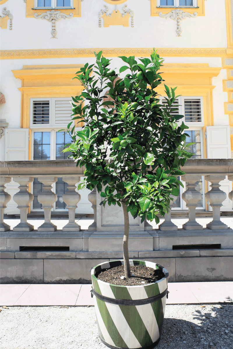 Lime green tree with fruits grows in wooden tub