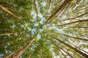 Read more about the article 15 Gorgeous Trees With White Bark [And Where You Can Grow Them]
