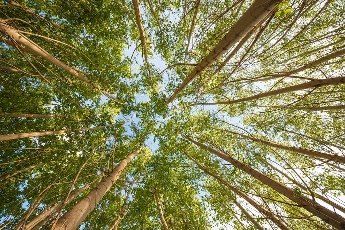 Looking up poplar trees, 15 Gorgeous Trees With White Bark [And Where You Can Grow Them]