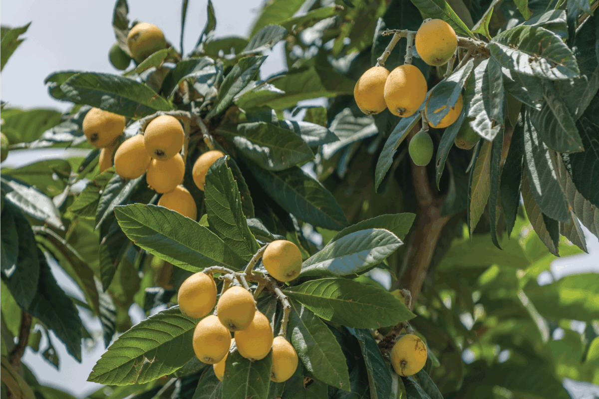 Loquat tree,outdoor with fruits