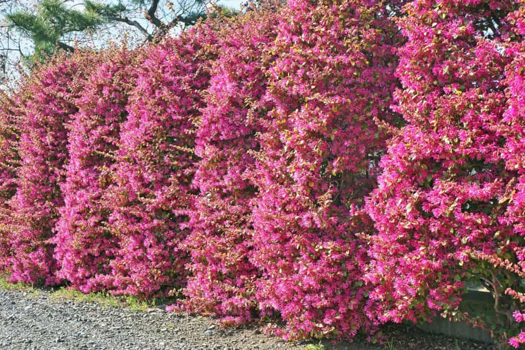 Loropetalum chinense made as boundary hedges on a spacious Japanese home