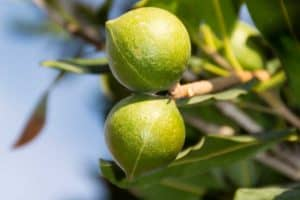Read more about the article How To Graft Macadamia Nut Trees [7 Steps To Follow!]