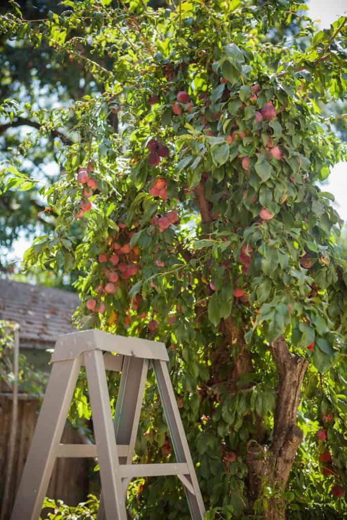 A tall plum jam tree photographed on the backyard of a house