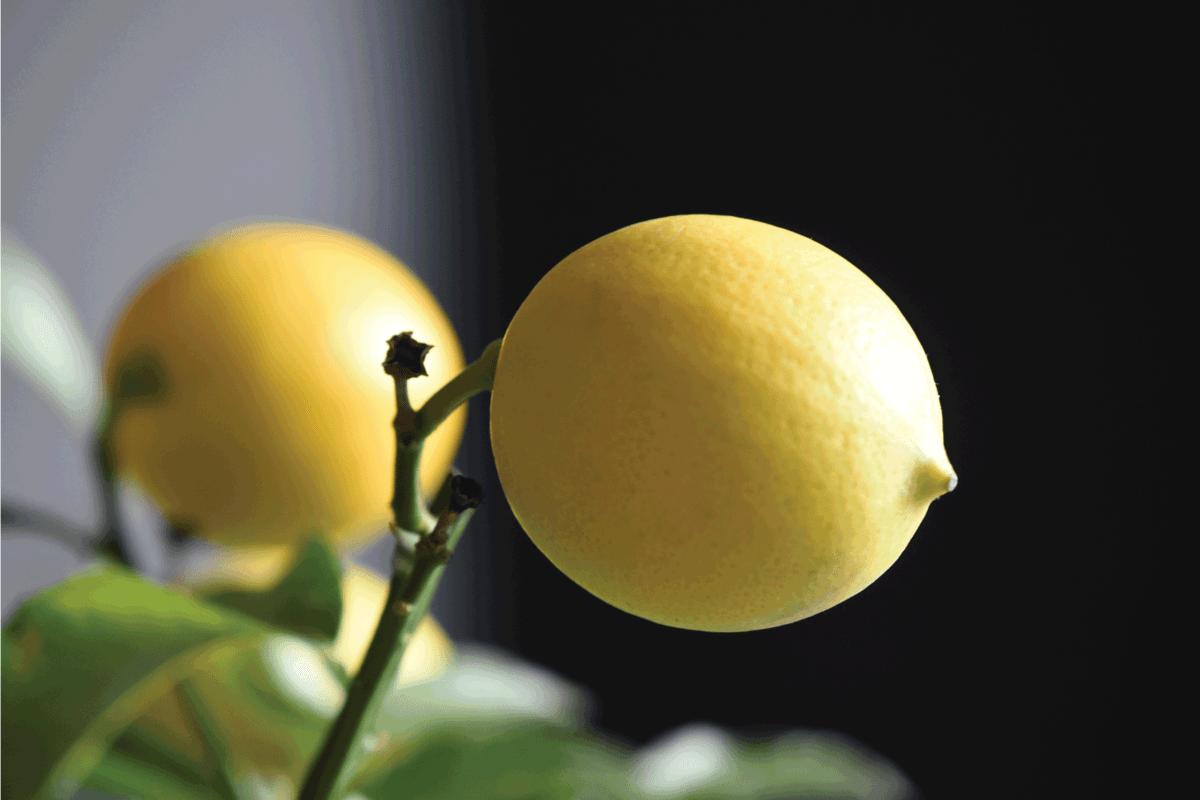 Meyer lemons on the tree