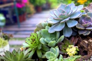 Miniature succulent plants in the garden, 11 Types Of Echeveria You Should Consider For Your Succulent Garden