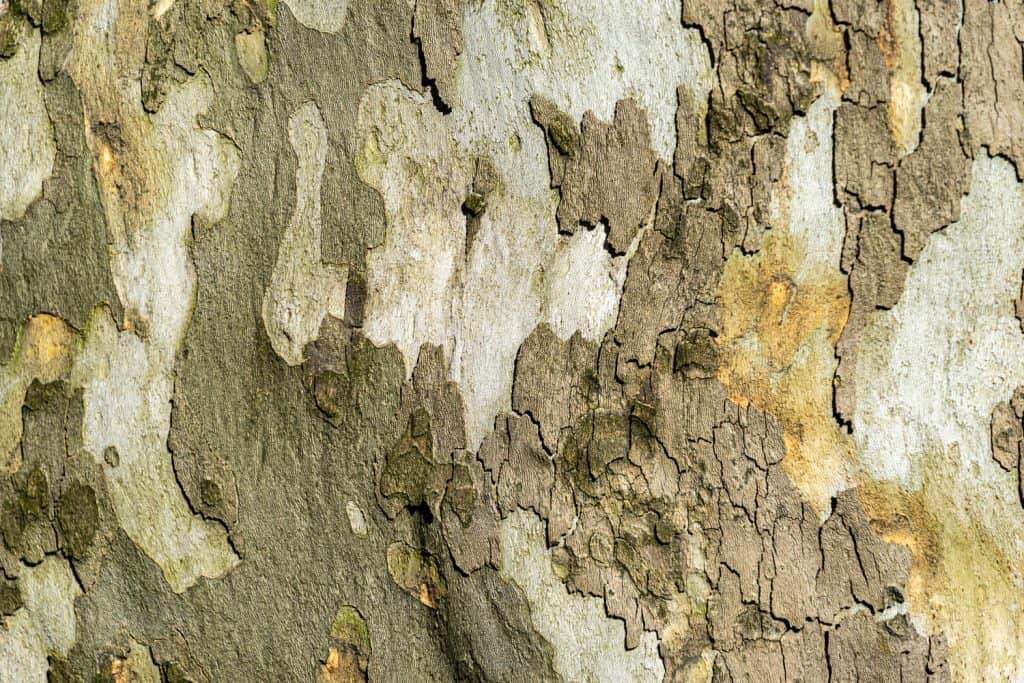 Nice texture of American Sycamore Tree (Platanus occidentalis, Plane-tree) bark. Natural green, yellow, gray and brown spotted platanus tree bark. Close-up of camouflage background for design