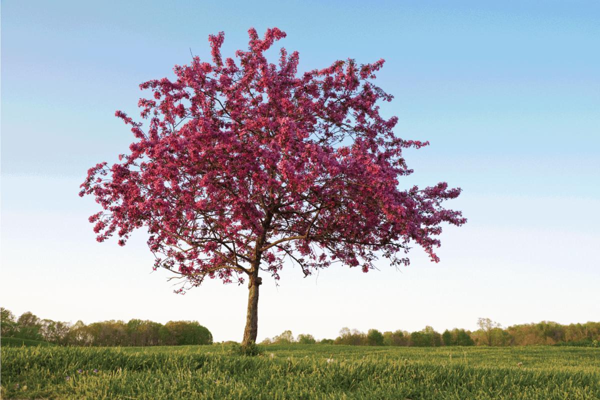 One beautiful flowering crab tree