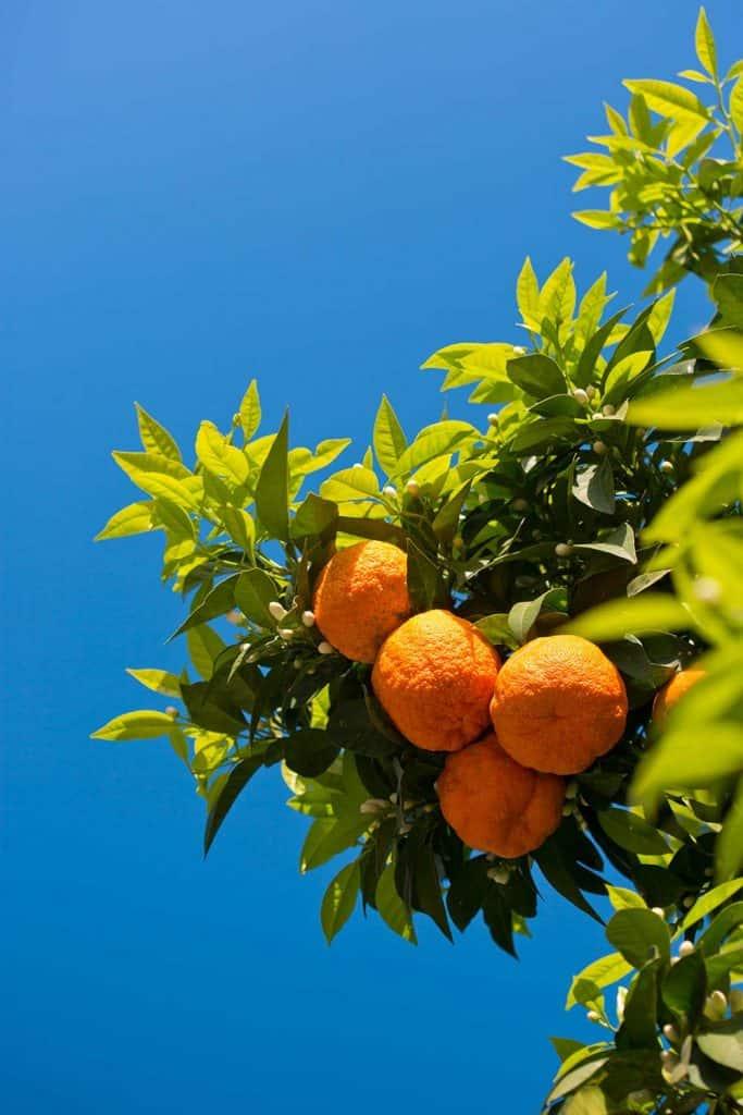 Orange fruit on tree with blue sky background